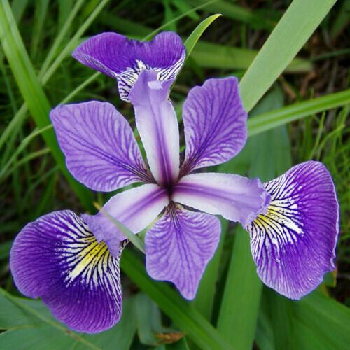 Iris versicolor 1 gal