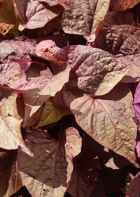 Ipomoea Sweet Potato Vine 4