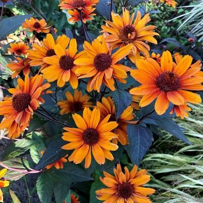 Heliopsis 'Fire Twister' 8""