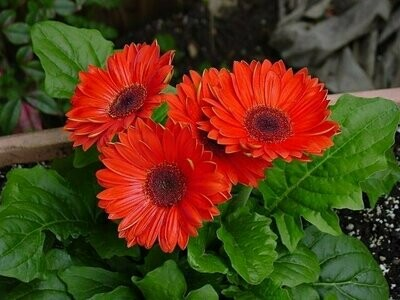 Gerbera Daisy Red #6