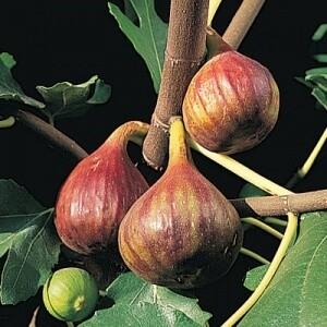 Fig Verns Brown Turkey 3 gal.