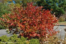 Aronia arbutifolia 'Brilliantissma' 3 gal
