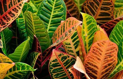 """Croton Euphorbiaceae 6in. 16""""H"""