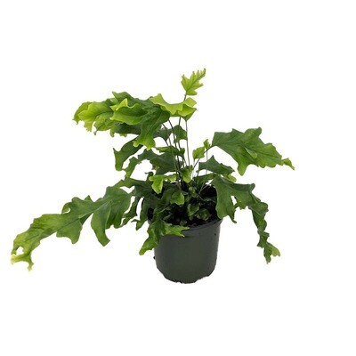 "Fern Nicholas Diamond 6in. 10""H"