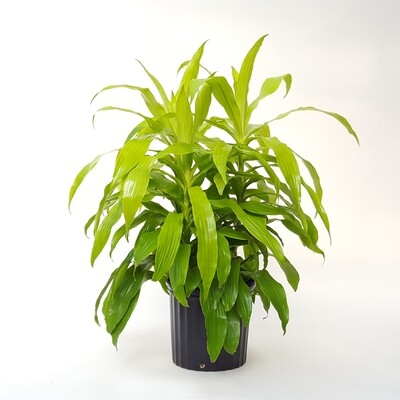 "Dracaena Limelight 10in. 21""H"