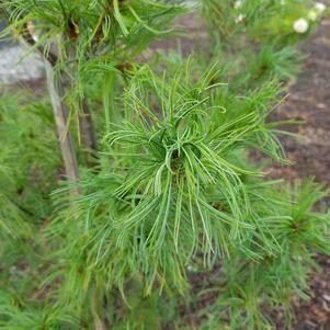 White Pine Twisted Needle 3 gal.