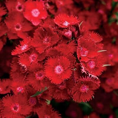 Dianthus 'Rockin Red' 1 gal
