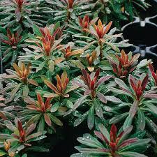 Euphorbia Wood Spurge 1 gal