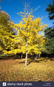 Ginkgo Biloba 'Autumn Gold' 7 gal