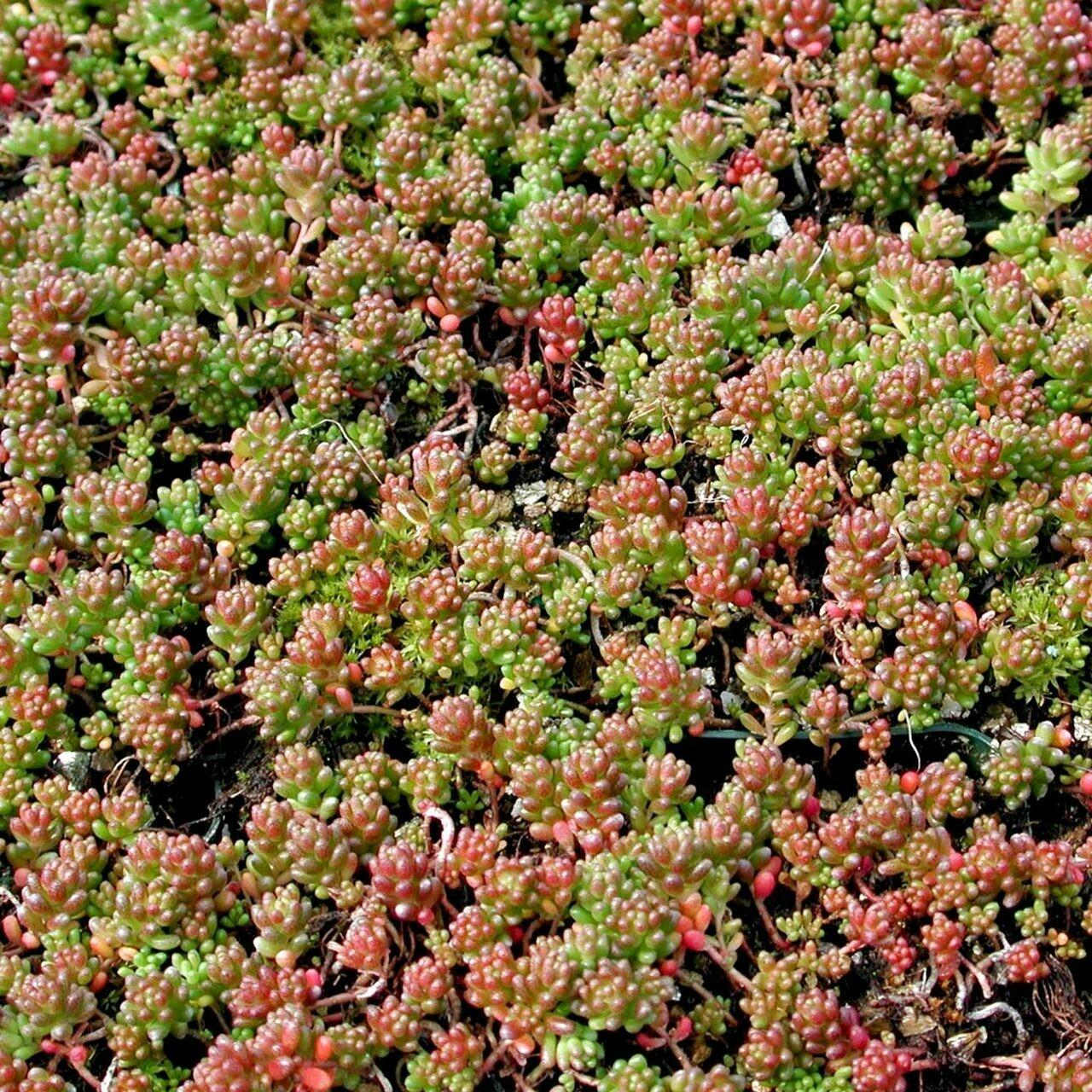 Sedum album 'Coral Carpet' - White Stonecrop 1 pt.