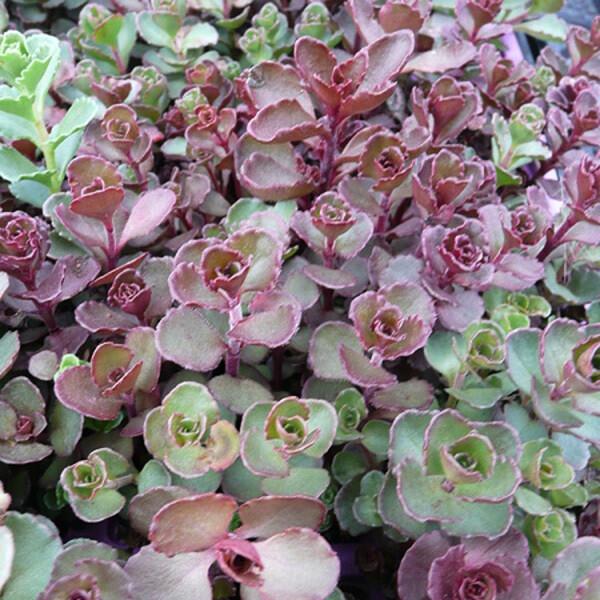 Sedum spurium red form - Blaze Stonecrop 1 pt