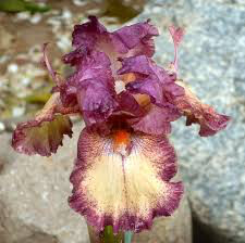 Iris Germanica 'Rock Star' (1 Gal)