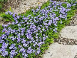 Iris Powder Blue Giant (2 Gal)