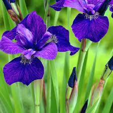 Iris Sibirica 'Ruffled Velvet' (1 Gal)