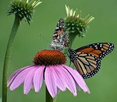 Echinacea 'Prairie Splendor' 2 gal