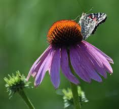 """Echinacea 'Prairie Splendor' 4.5"""""""