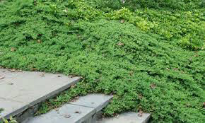 Juniperus procumbens 'Nana' 2 gal
