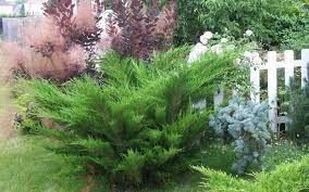 Juniperus chinensis 'Sea Green' 3 gal
