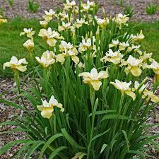 Iris 1 gal. - Butter and Sugar