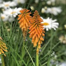 Kniphofia Pyromania `Orange Blaze` 1 gal.