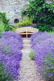 Lavender Munstead Organic 2 qt.