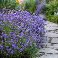 Lavender Munstead Strain 2 gal.