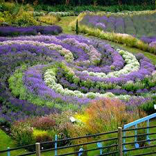Lavender Organic 1 pint - Jean Davis
