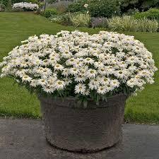 """Leucanthemum superbum 'Whoops a-Daisy' 8"""""""