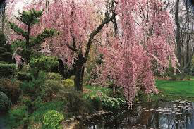 pendula weeping flowering cherry