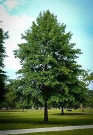 Quercus ellipsoidalis 'Bailskies' 15 gal