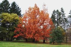 Metasequoia Glypto. 'Amber Glow' 15 gal