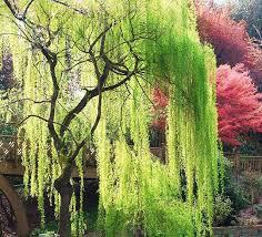 Salix babylonica 15 gal
