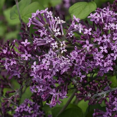 Syringa 'Bloomerang Dark Purple' 2 gal