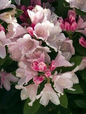 Rhododendron 'Yaku Princess' 2 gal