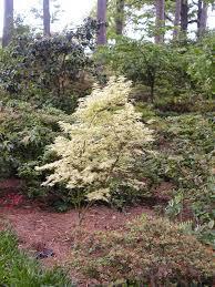 Acer palmatum 'Ukigumo' 25 gal