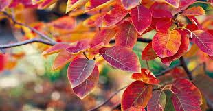 Serviceberry Autumn Brilliance 7 gal.