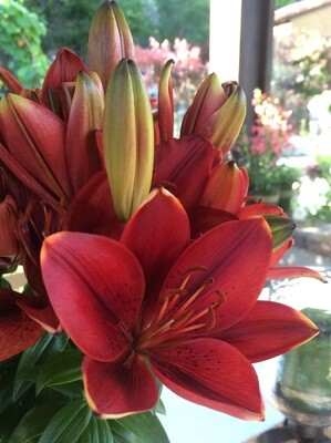 Asiatic Lily - Tiny Rocket (1 Gal)