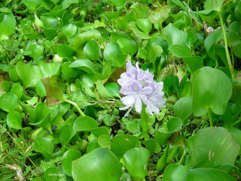 Water Hyacinth - Eichhornia Crassipes (Single Plant)