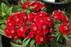Dianthus barbatus Barbarini Red (1 Gal)