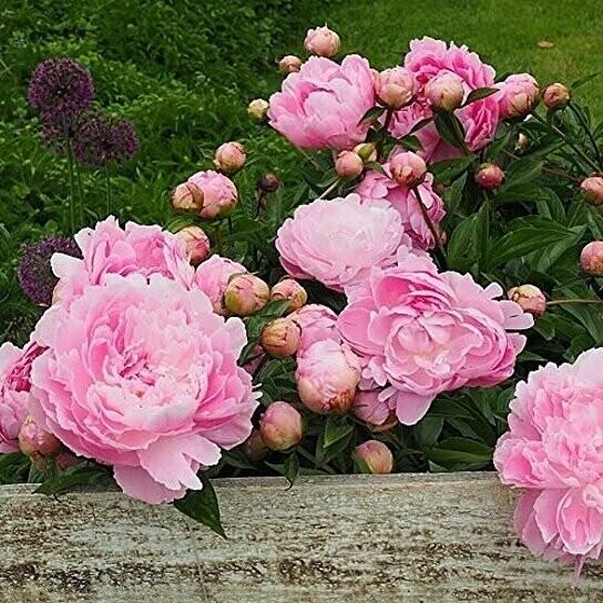 Paeonia suffruticosa 'Pink' 3 gal