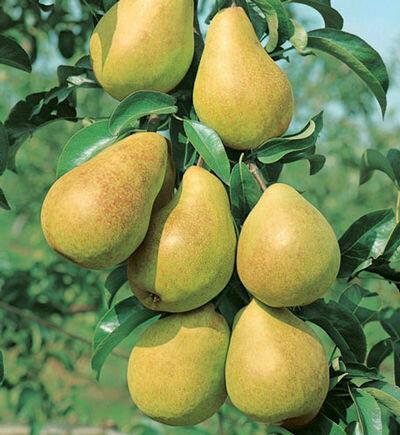 Pear Luscious 10 Gal.