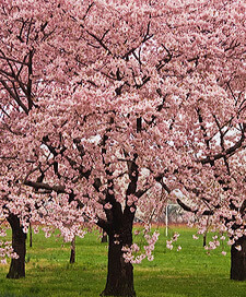 Flowering Cherry Tree 'Kwanzan' - 15 Gallon
