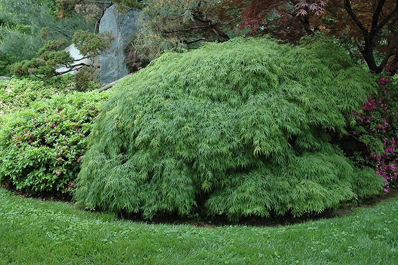 Acer Threadleaf 'Green Viridis' (5 Gal)