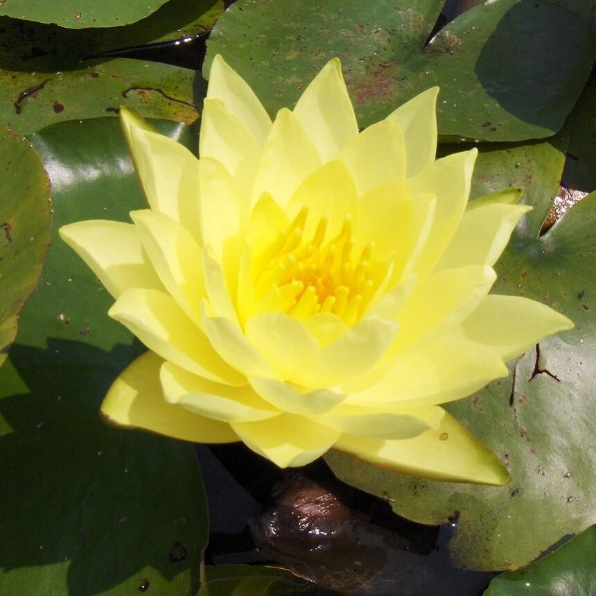 "Water Lily Joey Tomocik - Nymphaea 8"""