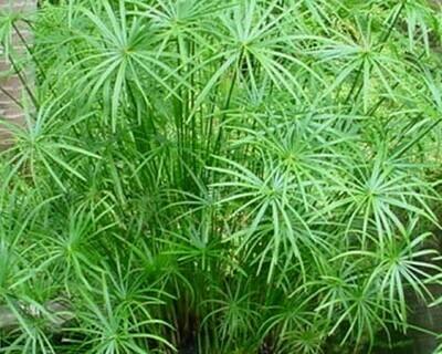 Dwarf Umbrella - Cyrperus Alternifolius Gracilis 8