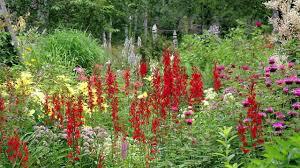 Cardinal Flower - Lobelia Cardinalis 3.5