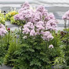 Thalictrum Nimbus 'Pink' - Meadow Rue (2 Gal)