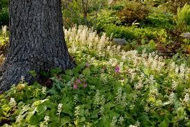 Tiarella Cordifolia - Foam Flower 1 gal.