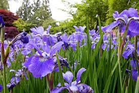 Iris 'Northern Blue Flag' (1 Gal)