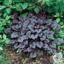 Heuchera - Coral Bells 'Frosted Violet' (1 Gal)